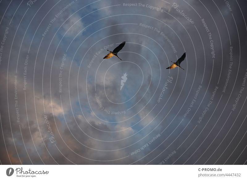 Schwäne fliegen vor dramatischen Himmel Wolken Paar paarweise Zusammenhalt Flug Vögel Vögel fliegen