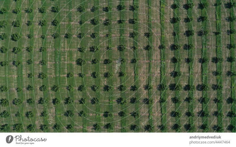 Luftaufnahme einer Drohne mit Reihen von grünen Obstbäumen. kultivierte Feldlandschaft Schonung Europa Spanien Landschaft schöne Landschaften Linien