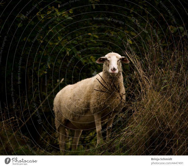 Ein helles stattliches Schaf in der Natur vor dunklem Hintergrund lamb sheep cute shepherd grass grazing countryside summer face green field herding ranching