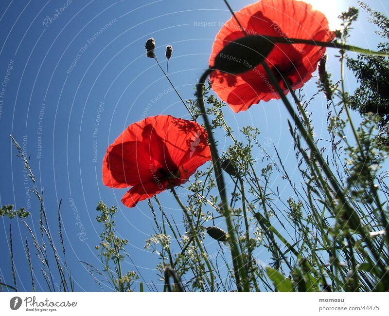 mohn - mohn blau Himmel Blume Wiese Blüte Gras Mohn