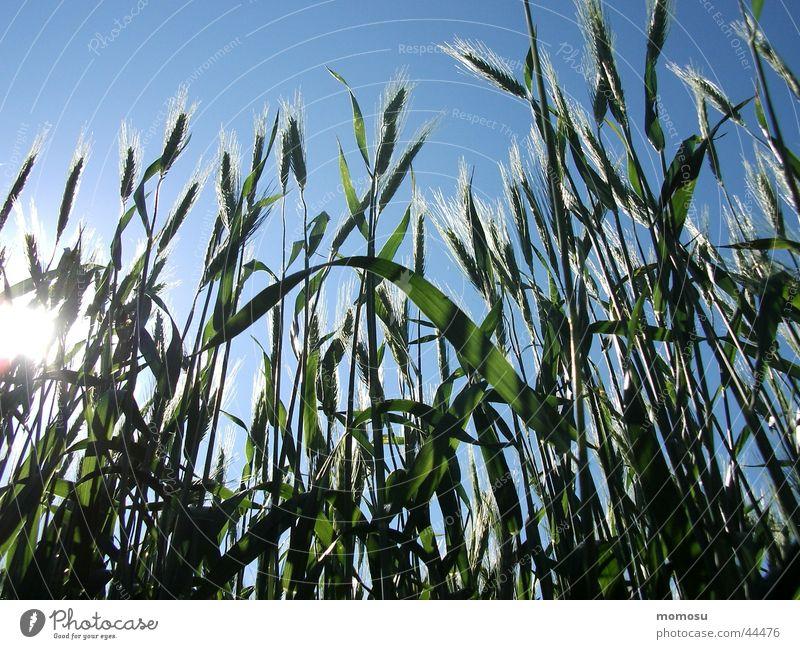 getreideglanz Ähren Feld Landwirtschaft Getreide Korn Himmel Ackerbau