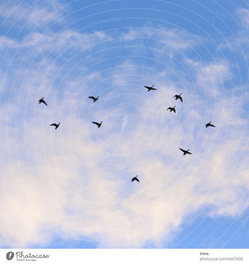 es ist wieder soweit vögel vogelflug zugvögel tiere himmel wolken 10 gänse fliegen schwarm unterwegs natur