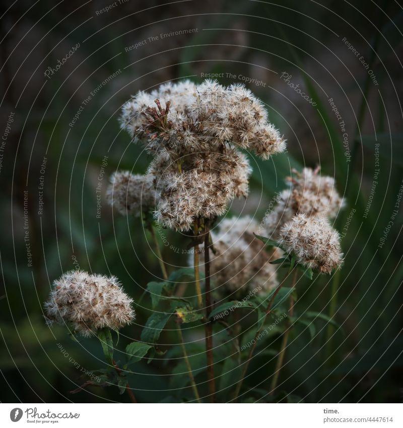 Gemeiner Sumpfpuschel Pflanze blüte blatt stengel grün abendlicht oberfläche wachsen moorpflanze heimat natur draußen Sumpfpflanze filigran herbst