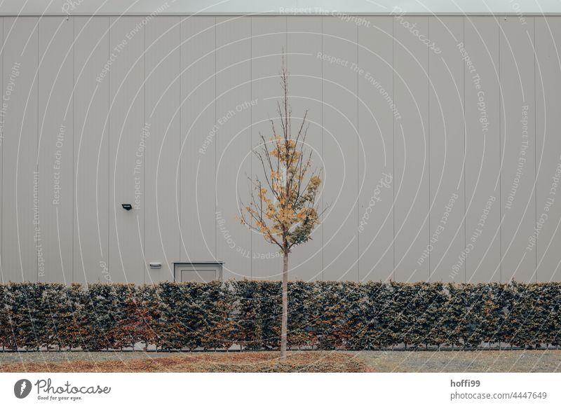 ein herbstlicher kleiner Baum von Buchenhecke und monoton trister Industriefassade Herbstlaub braun grün Traurigkeit Blatt Herbstfärbung Tag gelb Natur Pflanze