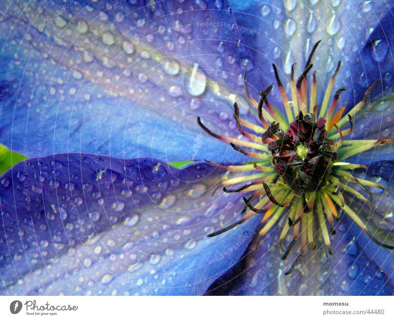 aus der mitte Blume blau Blatt Blüte Wassertropfen nass Seil violett Mitte Clematis