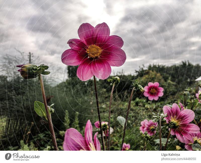 Rosa Blume gegen Himmel rosa Blume Blütenblätter natürliches Licht Unschärfe blühende Blume natürliche Farbe aufblühen Gartenblume Blühend romantisch