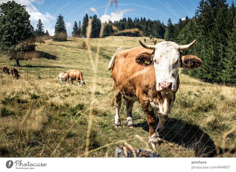 Du Kuh! Sommer Berge u. Gebirge Tier Nutztier 3 Herde beobachten natürlich Natur Alm Österreich Farbfoto Außenaufnahme Tag Sonnenlicht Tierporträt Blick