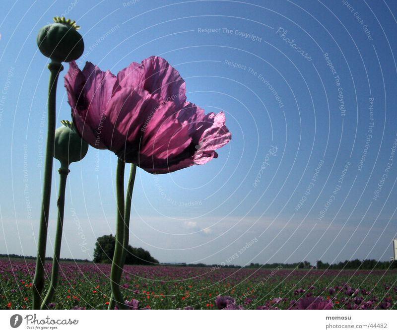 hoch hinaus Mohn violett Feld Mohnfeld Blüte Blatt Himmel