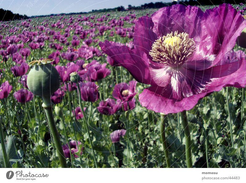 ganz viel mohn Blume Blüte Feld violett Mohn Ackerbau Samen