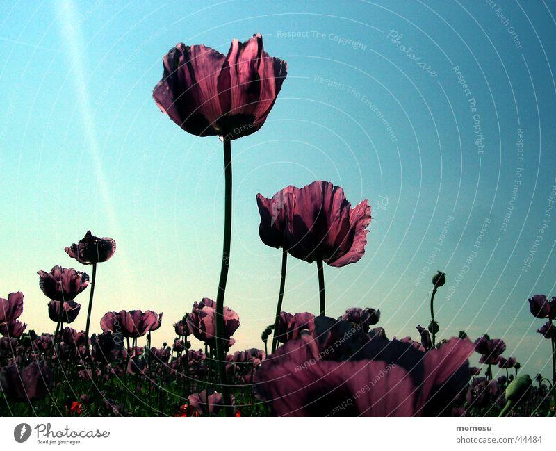 mohn stimmung Himmel Sonne Blüte Stimmung violett