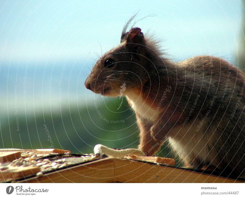 ...ich bin das andere ende vom schwanz Himmel Balkon Eichhörnchen