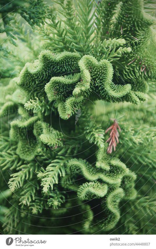 Korallenfichte Nadelbaum Zweige u. Äste stachelig Natur Grün Nadeln Baum viele Detail grün Farbfoto Pflanze Umwelt Ast Wachstum fein klein Kontrast Geäst