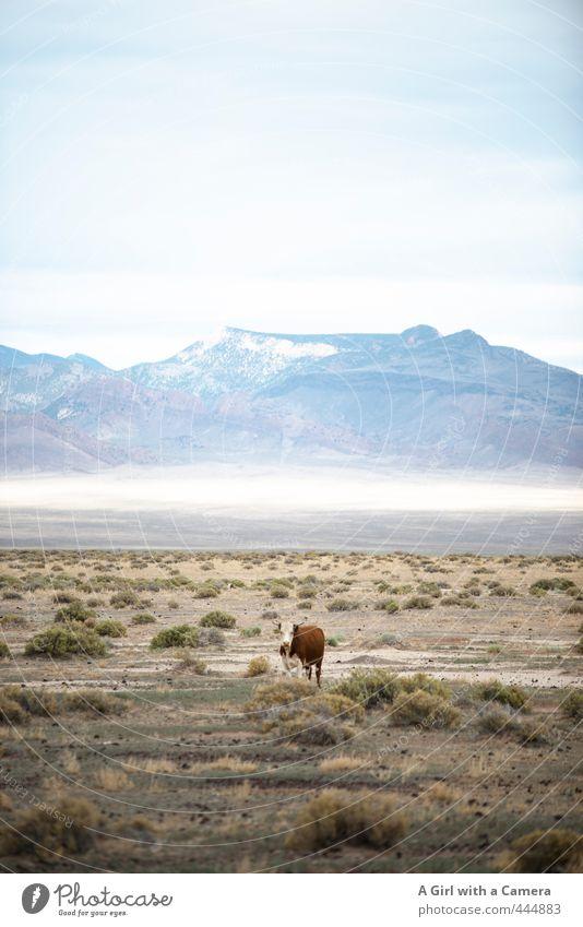 zee cow part two Natur Sommer Einsamkeit Landschaft Tier Ferne Umwelt Berge u. Gebirge Horizont wild frei Schönes Wetter Kuh Nutztier Nevada
