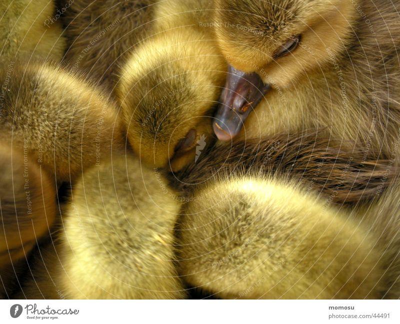 kopf hoch gelb Ente Kücken Feder