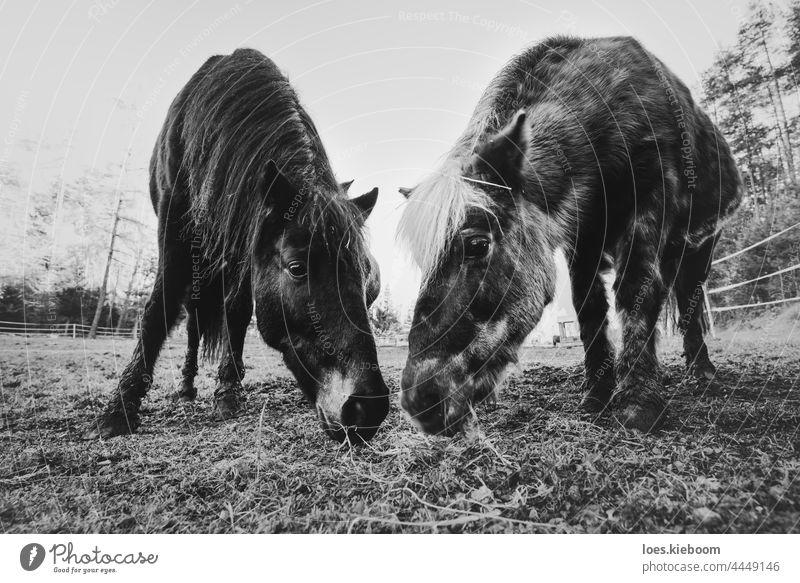 Zwei grasende Pferde auf einem Bauernhof als Symbol für Zweisamkeit und Liebe Zusammengehörigkeitsgefühl Natur Auge Tier Zusammensein Gras Säugetier essen