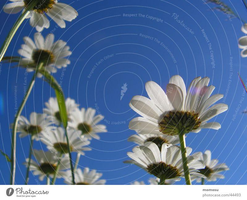 dem himmel nahe Blüte Blume Froschperspektive Margariten Himmel blau