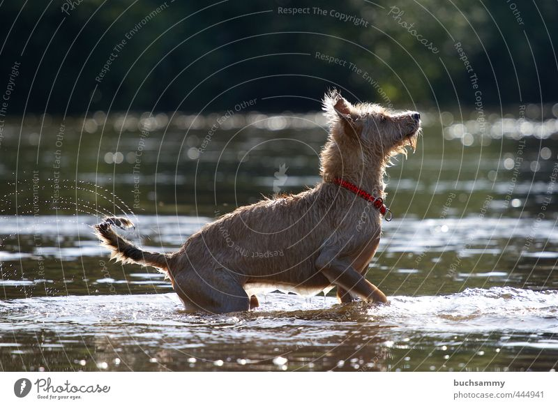 Erwartungsvoller Hund Natur Wasser Sommer rot Freude Tier Glück Schwimmen & Baden Freizeit & Hobby stehen nass Lebensfreude Seeufer Wachsamkeit Haustier