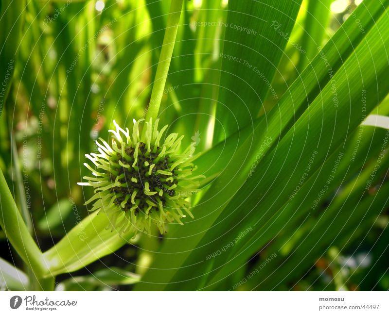 igel im schilf Wasser grün Sommer Garten Schilfrohr Igel Biotop Wasserpflanze