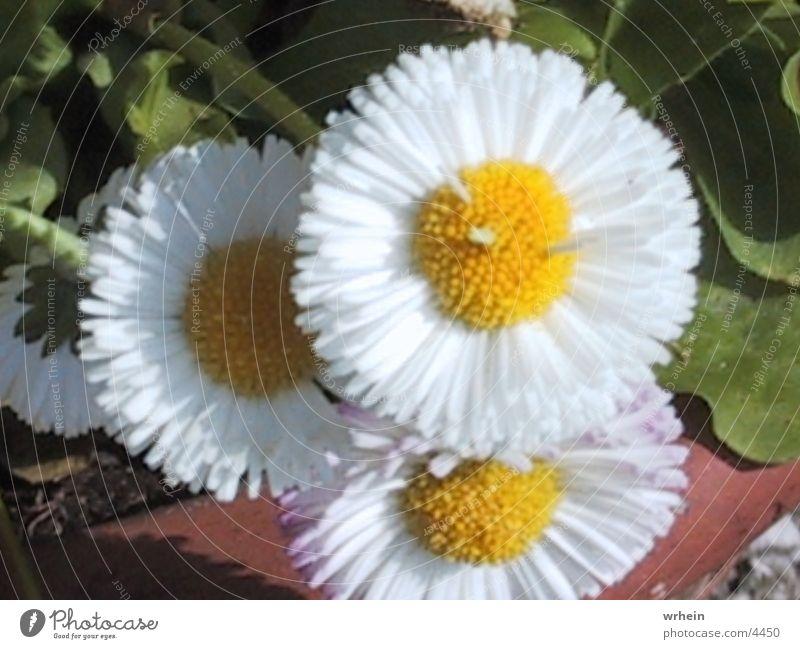 Bluemli Blume