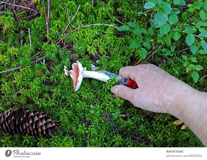 Pilzsuche im Wald. Eine Frau schneidet einen Pilz (Leuchtendroter Täubling) vom Waldboden ab pilz hand abschneiden sammeln essbar giftig pilzsuchen pflanze wald