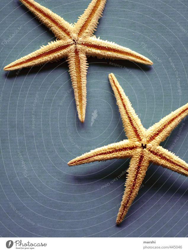 gestrandet Natur blau Wasser Sommer Meer gelb Stern (Symbol) Symbolismus Strandgut Seestern selten