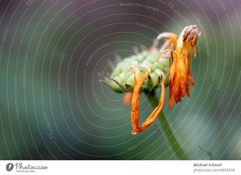 verblüht Blüte Blume Pflanze Makroaufnahme orange Detailaufnahme Natur Vergänglichkeit vergänglich Schwache Tiefenschärfe Lebensende welk vertrocknet Herbst alt