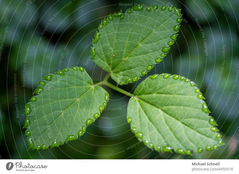Drei Blätter und Tropfen rundherum Blatt Pflanze grün natürlich Regen nass drumherum Makroaufnahme Nahaufnahme Saum Regentropfen Reflexion & Spiegelung feucht