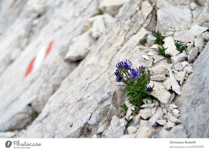 Dolomiten Natur Landschaft Pflanze Urelemente Erde Sand Blume Felsen Berge u. Gebirge Gipfel Gletscher Abenteuer Idylle Sport Alpenblume Kies Stein steinig