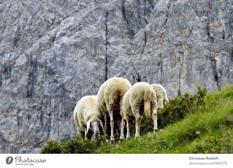 auf der alm Schaf Alm wandern Tier Berge u. Gebirge Bergsteigen Milch Wiese Wolle Almabtrieb Bergbauer Felsen Felswand Fressen Fraß Landschaft