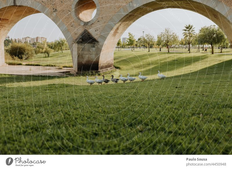 Gänseschwarm Schwarm Vogelschwarm Hausgans Tiergruppe Umwelt Wildtier Freiheit Vögel Zugvogel Natur See Fluss Bewegung Außenaufnahme Farbfoto Wildgans