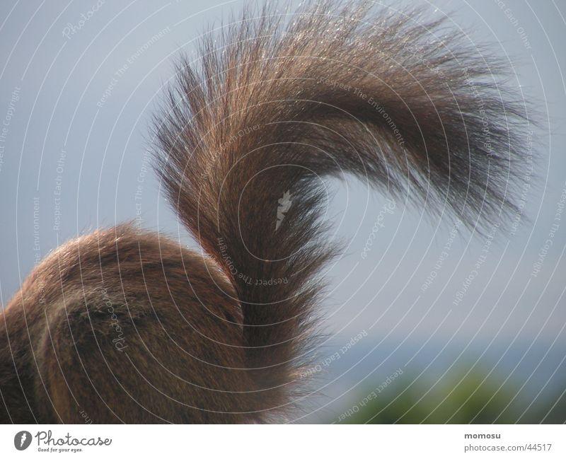 schwanz hoch Fell Schwanz Eichhörnchen