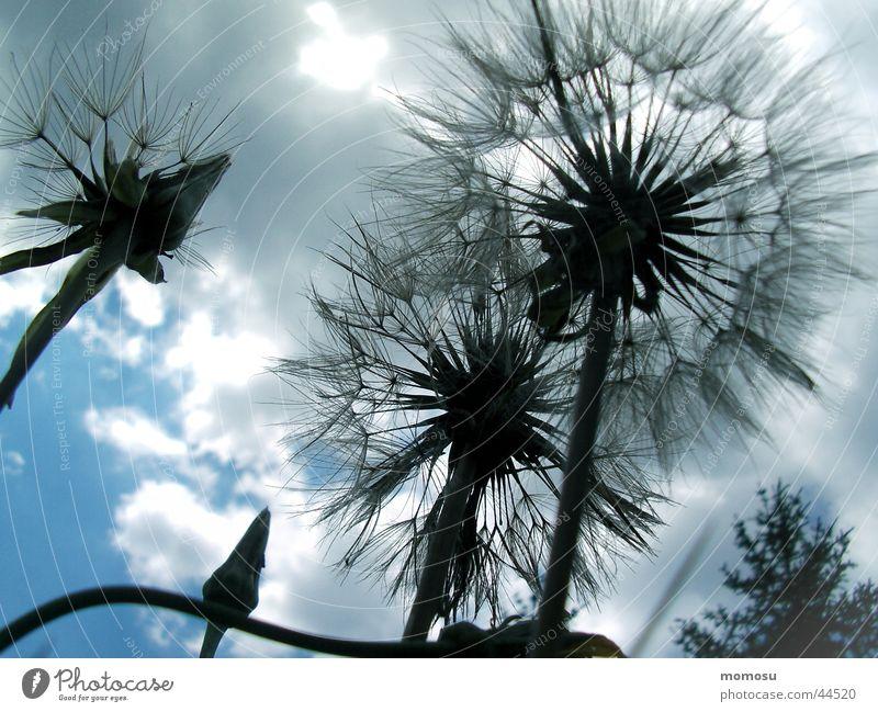 cloudy Himmel Blume Sommer Wolken Blüte Löwenzahn