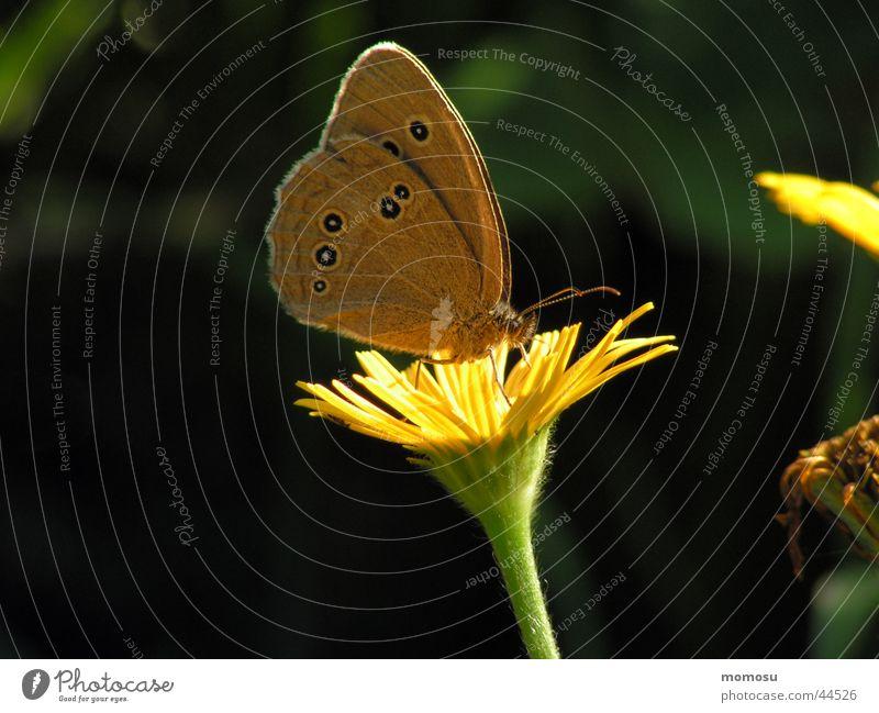 schmetterlingsfrühstück Blume Wiese Blüte Insekt Schmetterling