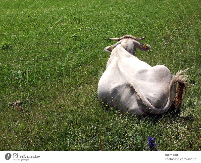 kuh im grün Kuh Gras Wiese Landwirtschaft Rücken Weide liegen