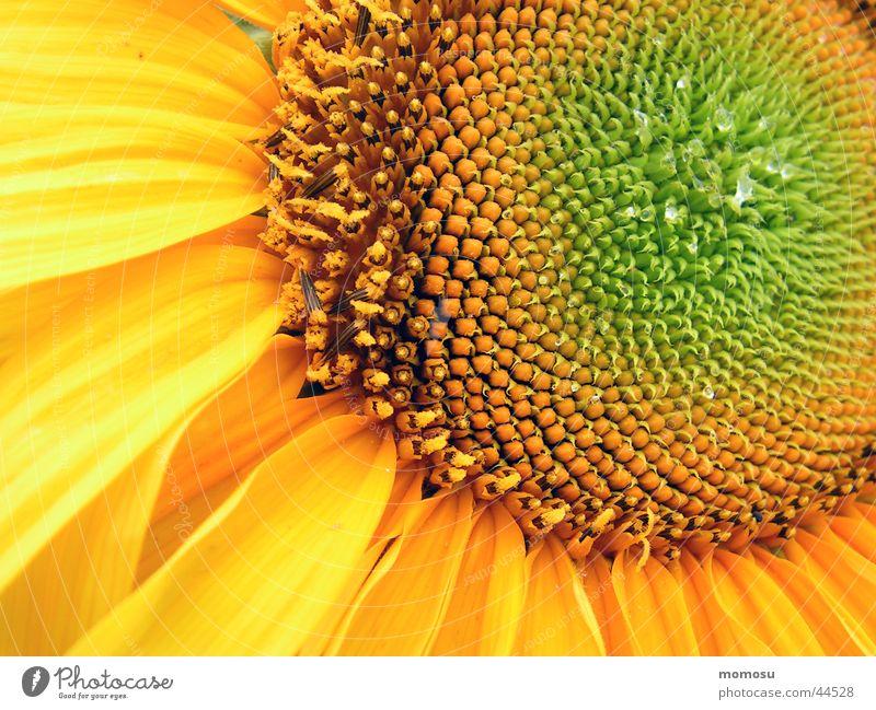 innenleben Sonne Blume gelb Blüte Kreis Mitte Sonnenblume Samen