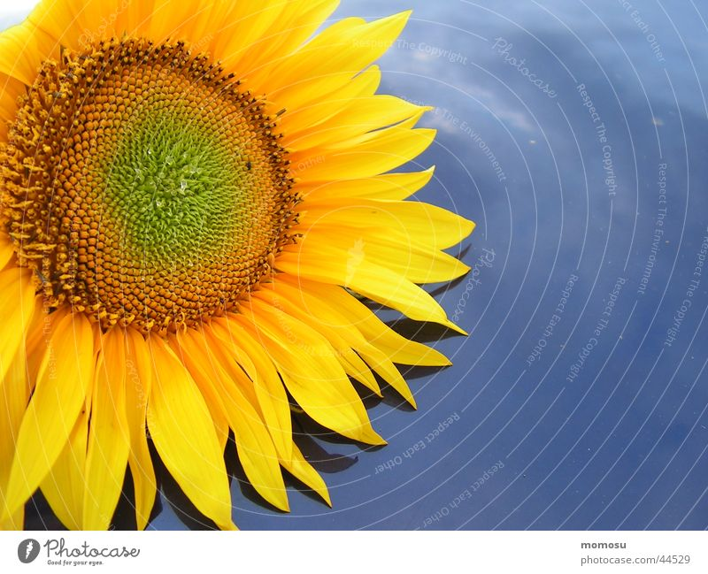beschenkt Sonnenblume Blüte Blatt gelb Autodach Sommer blau Himmel Detailaufnahme