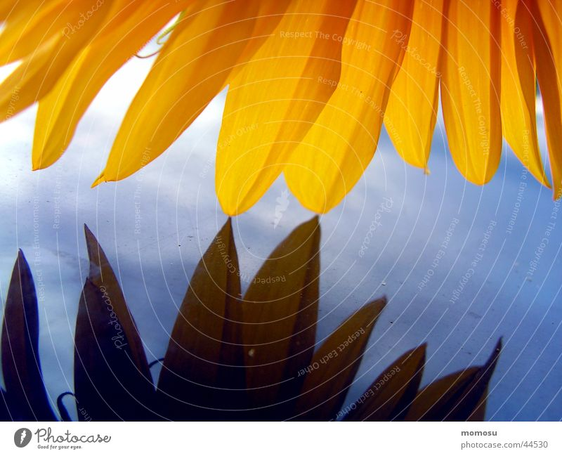 zärtlichkeit Sonnenblume Blatt Licht gelb Autodach Detailaufnahme Makroaufnahme blau Himmel
