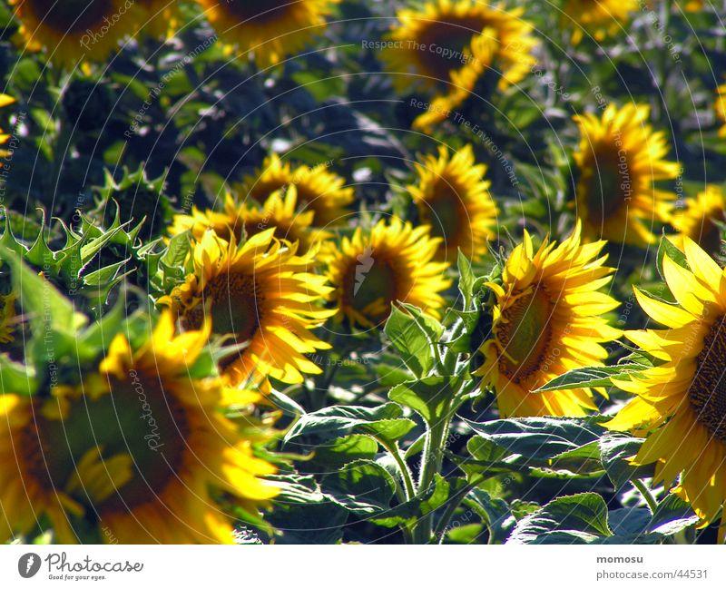im sonnenfeld Feld Sonnenblume Blume Blüte grün gelb Ackerbau Ernte