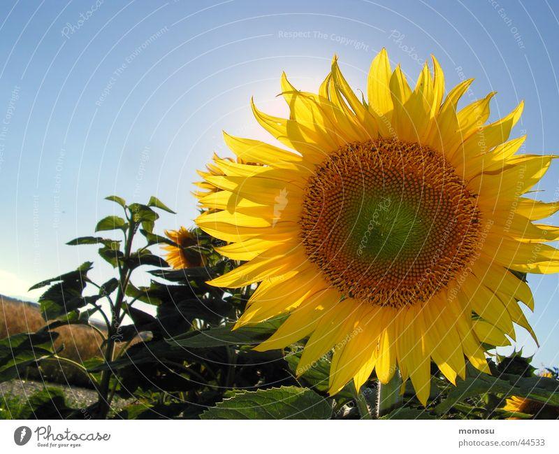 against the sun Sonnenblume Blüte Blume Feld Himmel