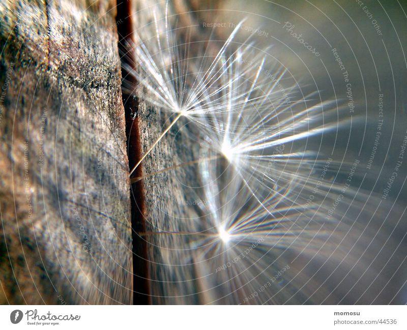flugsamen Löwenzahn Licht Holz zart Fortpflanzung Samen Schatten