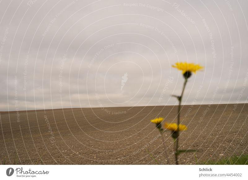 Hoffnungsschimmer Blume blüht am Rande eines kahlen Ackers unter grauem Himmel Landwirtschaft Monokultur blühen selektiver Fokus gelb Feld Pestizide Fungizide