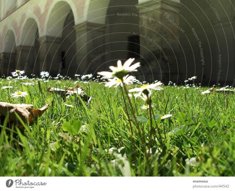 arkadenblümchen Wiese Gras Gänseblümchen Kloster Wiesenblume Christliches Kreuz Arkaden Bundesland Niederösterreich Heiligenkreuz