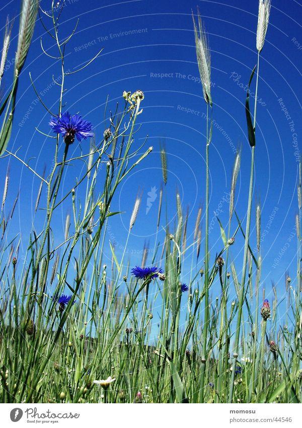 auch hier gibt es kornblümchen Kornblume Blume Feld grün Wiese Getreide Himmel blau