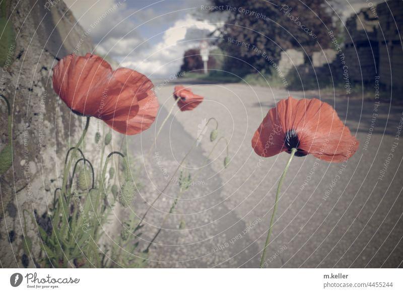 Am Straßenrand wächst Mohn grau Sommer rot