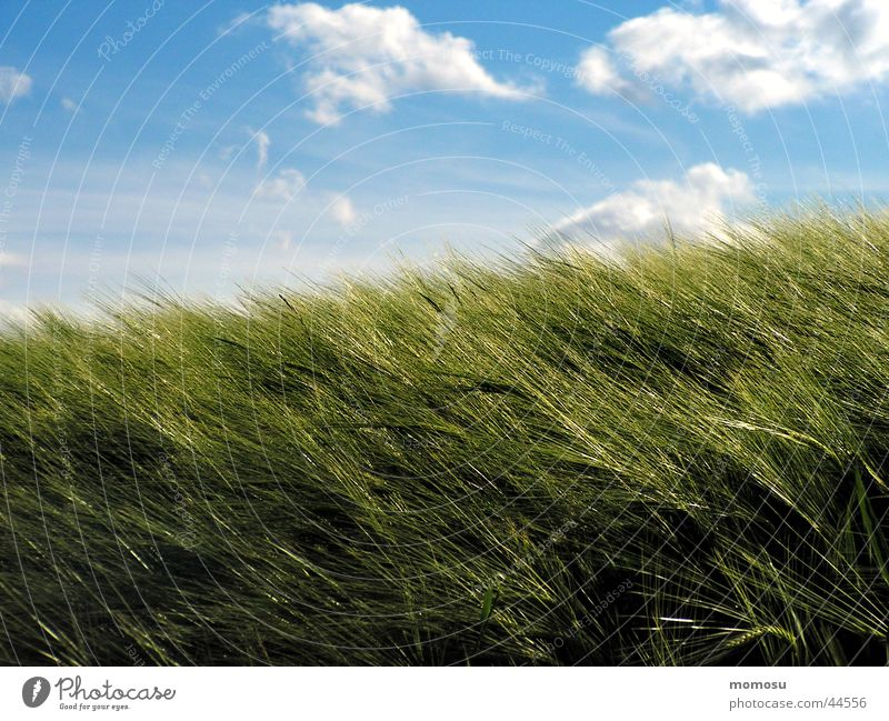 weizenwind Himmel grün blau Wolken Feld Getreide Weizen