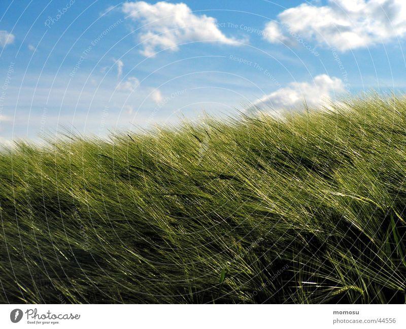 weizenwind Weizen Feld Wolken grün Himmel Getreide blau