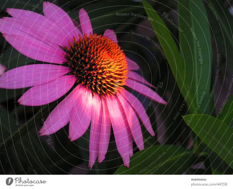 im licht Blume Blüte Blatt Licht violett Sommer Sonnenhut orange Makroaufnahme Detailaufnahme Garten