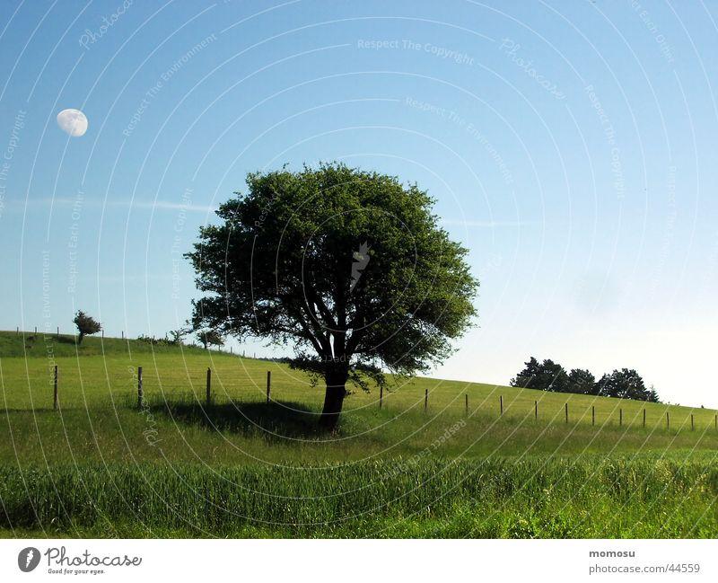 mondbaum Baum Wiese Feld Gras Frühling Sommer Zaun Mond Himmel