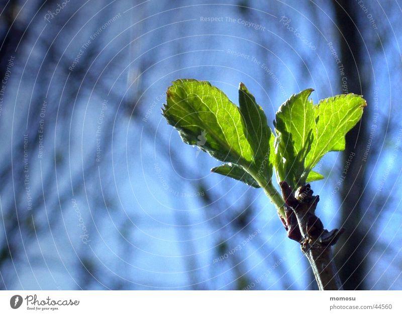 erwachen Blatt aufwachen Frühling Beginn Neuanfang grün Trieb Zweig Blütenknospen Himmel blau