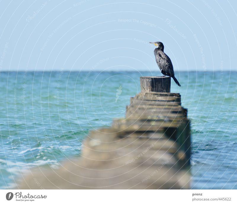 Kormoran - Darß Umwelt Natur Landschaft Tier Sommer Schönes Wetter Küste Ostsee Meer blau braun Buhne Perspektive Farbfoto Außenaufnahme Menschenleer